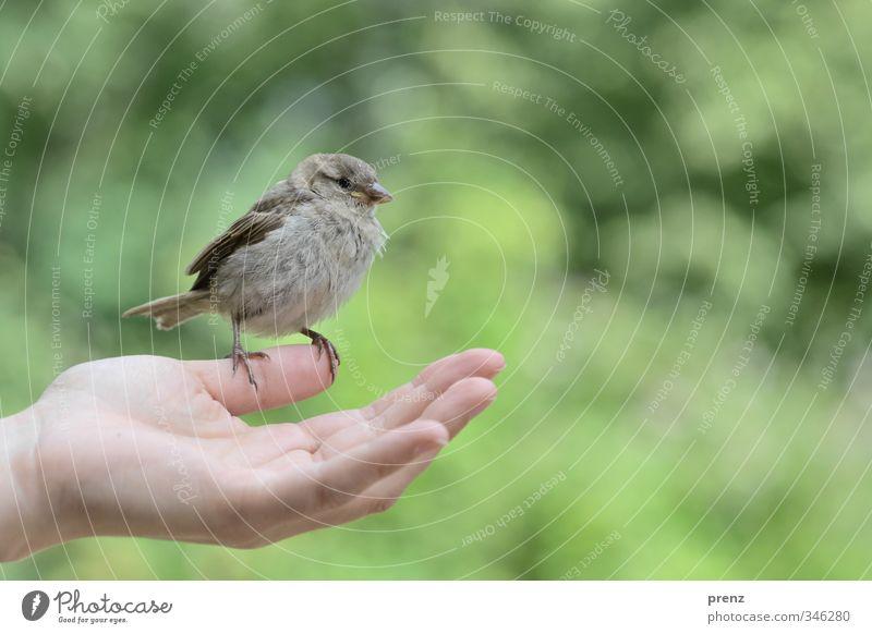 Vertrauen 1 feminin Hand Umwelt Natur Tier Wildtier Vogel grau grün Spatz sitzen Farbfoto Außenaufnahme Textfreiraum rechts Textfreiraum oben Tag