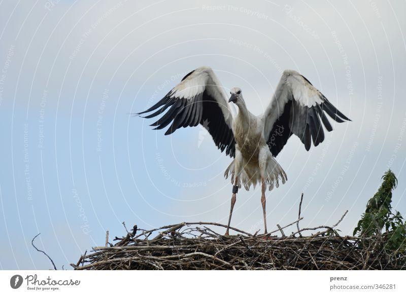 Flugversuch Umwelt Natur Tier Sommer Wildtier Vogel 1 blau schwarz weiß Storch Weißstorch Horst Nest flattern Tierjunges Farbfoto Außenaufnahme Menschenleer