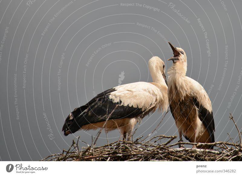 Horsti Umwelt Natur Tier Schönes Wetter Wildtier Vogel 2 grau weiß Storch Tierjunges Nest Weißstorch Farbfoto Außenaufnahme Menschenleer Textfreiraum links