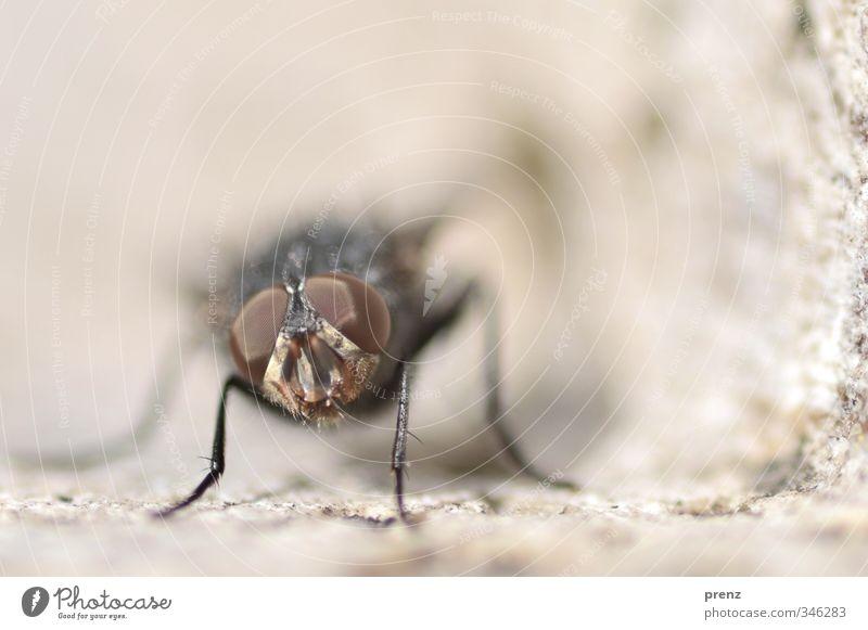 makro Umwelt Natur Tier Wildtier 1 braun grau Fliege Insekt Blick Farbfoto Außenaufnahme Nahaufnahme Makroaufnahme Menschenleer Textfreiraum oben Tag