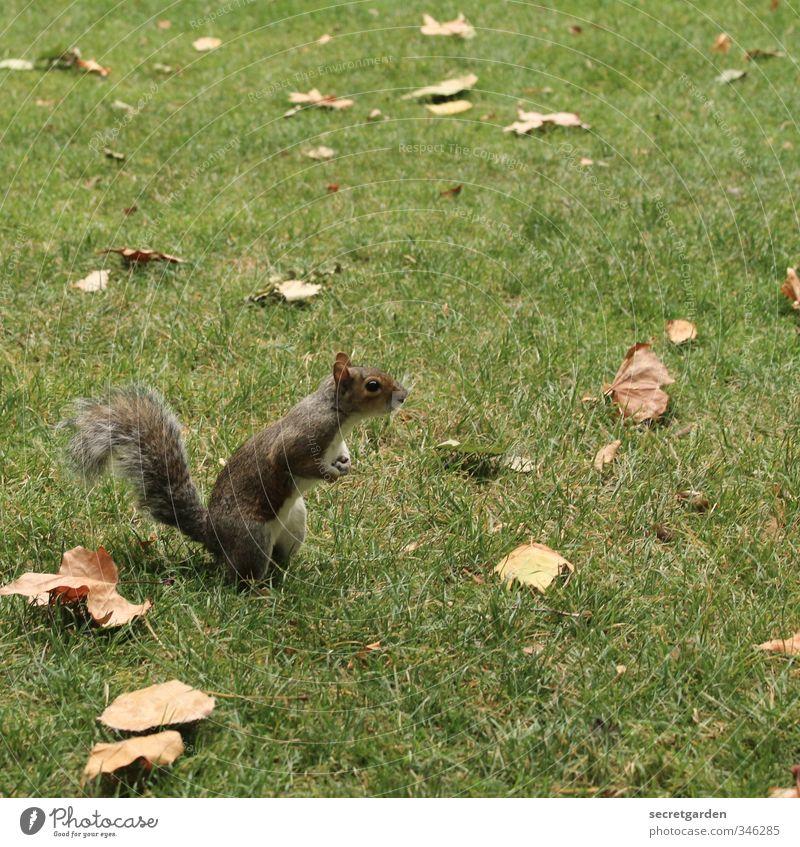 Tote Blätter und ein neugieriges Eichhörnchen. Natur Erde Herbst Gras Blatt Garten Park Wiese Tier Wildtier 1 beobachten stehen warten frech klein lustig