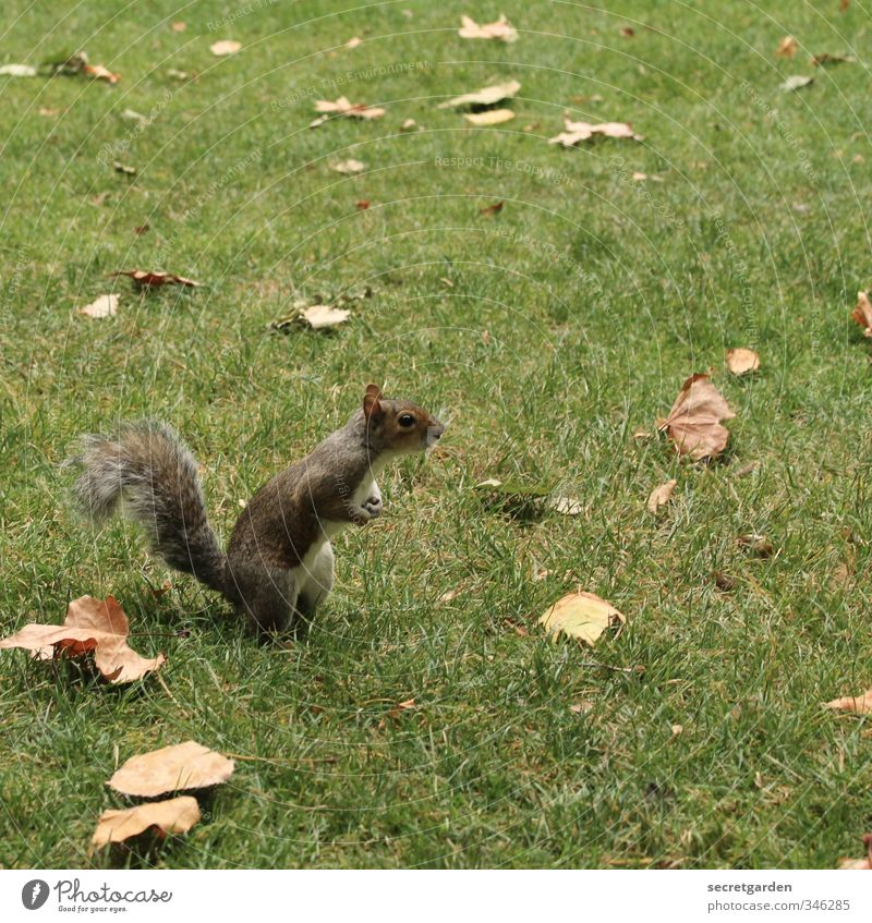 Tote Blätter und ein neugieriges Eichhörnchen. Natur grün Tier Blatt Wiese Herbst Gras lustig klein Garten braun Park Erde Wildtier warten stehen