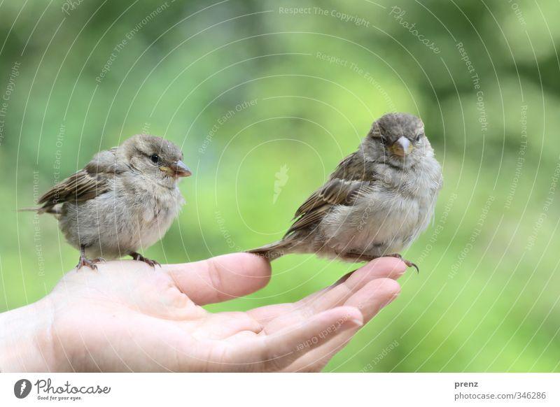 Vertrauen 2 feminin Hand Finger Umwelt Natur Tier Wildtier Vogel grau grün Spatz sitzen Farbfoto Außenaufnahme Textfreiraum oben Tag Tierporträt Vorderansicht