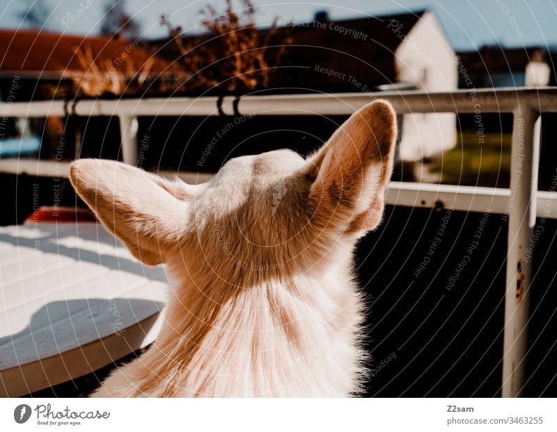 Ausgangsbeschränkung hund schäferhund kopf ohren balkon dorf idylle ausblick sehen gassi gehen ferne sehnsucht Tier Außenaufnahme Haustier Farbfoto Spaziergang