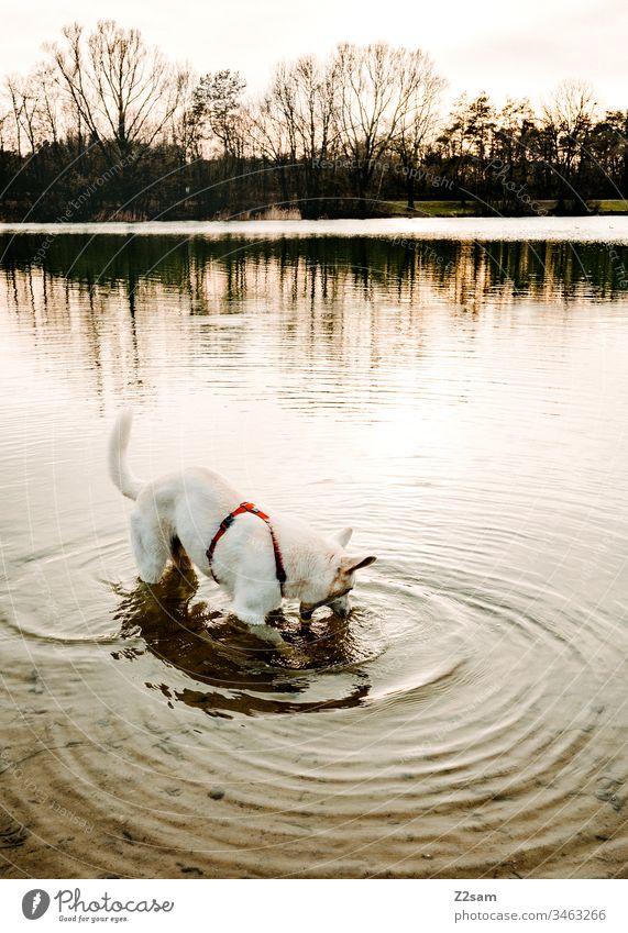 Weißer Schäferhund beim Baden schäferhund weiß tier haustier ohren süss lieb niedlich treue draußen gassi gehen spielen zuneigung liebe fell nase schnautze