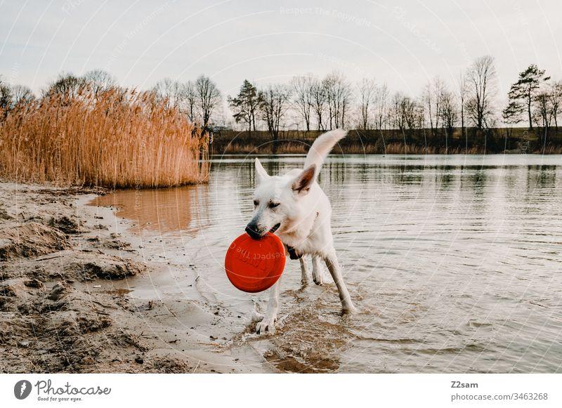 Weißer Schäferhund mit Frisbee schäferhund weiß tier haustier ohren süss lieb niedlich treue draußen gassi gehen spielen zuneigung liebe fell nase schnautze