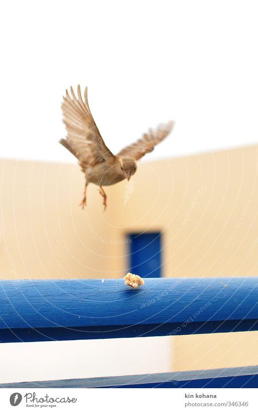 anflug Garten Tier Wildtier Vogel Spatz 1 Bewegung Essen fliegen füttern Appetit & Hunger Flügel gefiedert Landen Brot Brotkrümel nähern Vorsicht blau Neugier