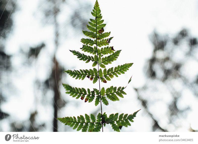 Pflanze im Gegenlicht grün Grünpflanze Natur Outdoor Bokeh Schatten Umriss Silhouette Farn Farnblatt