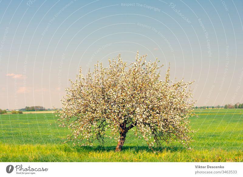 Einsam blühender Apfelbaum auf dem Feld Blume Hintergrund Baum Lebensmittel Frucht Sommer Natur Sonne Frühling Landschaft Himmel ländlich grün eine blau
