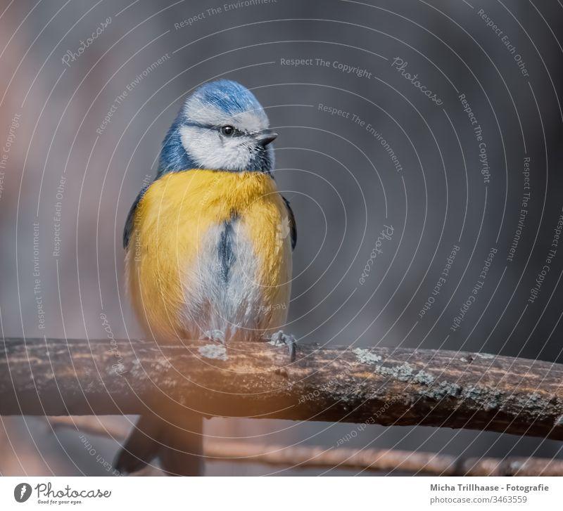 Blaumeise im Sonnenlicht Cyanistes caeruleus Meisen Vogel Tiergesicht Kopf Schnabel Auge Feder gefiedert Flügel Krallen Wildtier Zweige u. Äste Baum Natur