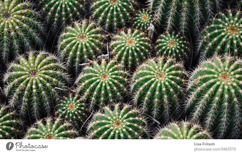 Kaktus-Familie grün Pflanze stachelig Farbfoto