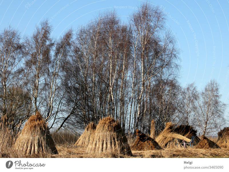 nach der Reeternte zum Trocknen als Pyramiden aufgestellte Reetbunde Reetgras Schilf Pflanze Schilfernte Ernte Rügen Außenaufnahme Landschaft Natur Umwelt
