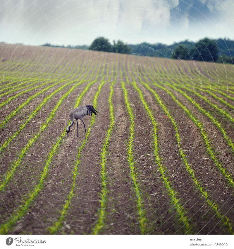 avec plaisir Landschaft Himmel Wolken Wetter Pflanze Feld Wald Tier Wildtier Vogel 1 Fressen blau braun Kranich Maisfeld Sträucher Farbfoto Außenaufnahme