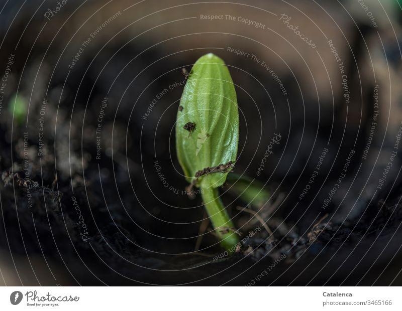 Ein Zucchini Keimling sprießt keimling wachsen schnell Pflanze Natur Wachstum Frühling Gemüse Erde sprießen frisch Boden Feld Samen grün natürlich organisch