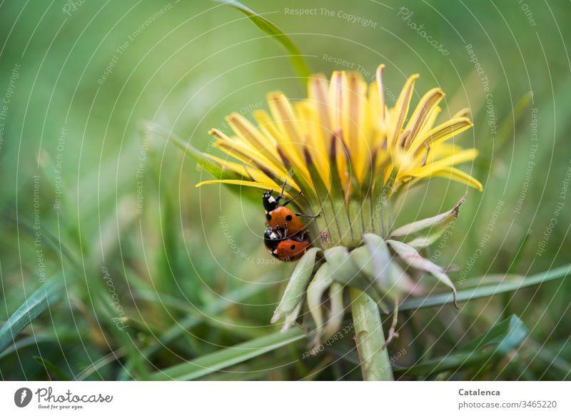 Lebensnotwendig | Sex Flora Fauna Pflanze Tier Insekt Käfer Marienkäfer Unkraut Löwenzahn Blüte Blütenblätter krabbeln Begattung Sommer Wiese Grün Gelb Orange