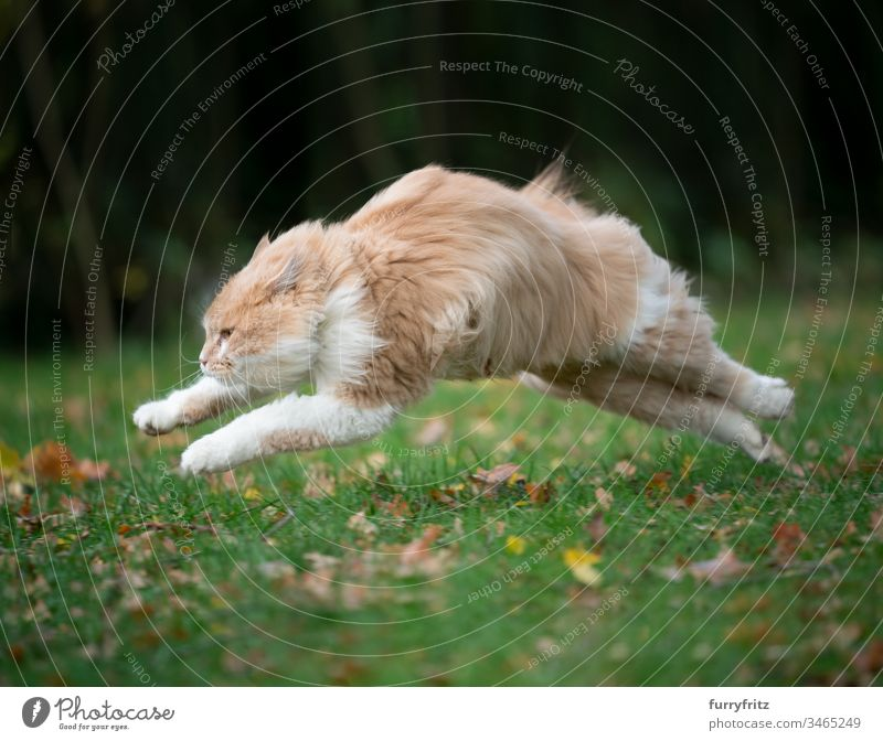 Maine Coon Katze rennt über die Wiese schnell wie der Wind springt flauschig fluffig wind wiese natur draußen garten herbst laub fokussiert
