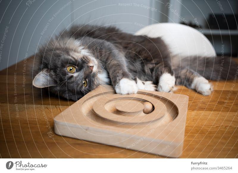 Verspielte Maine Coon Katze liegt auf einem Tisch und spielt mit Holz Spielzeug im Innenbereich Ein Tier Rassekatze Haustiere katzenhaft Fell fluffig