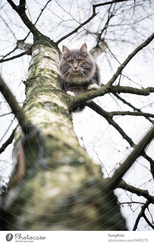 Maine Coon Katze sitzt auf dem Ast einer Birke und sieht herunter im Freien Vorder- oder Hinterhof Garten Natur Ein Tier Rassekatze Haustiere katzenhaft Fell