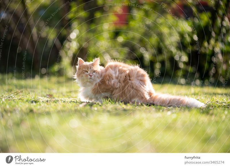 Flauschige Maine Coon Katze sitzt im Garten an einem windigen Tag Haustiere katzenhaft Fell fluffig Langhaarige Katze Hirschkalb beige Creme-Tabby Ingwer-Katze