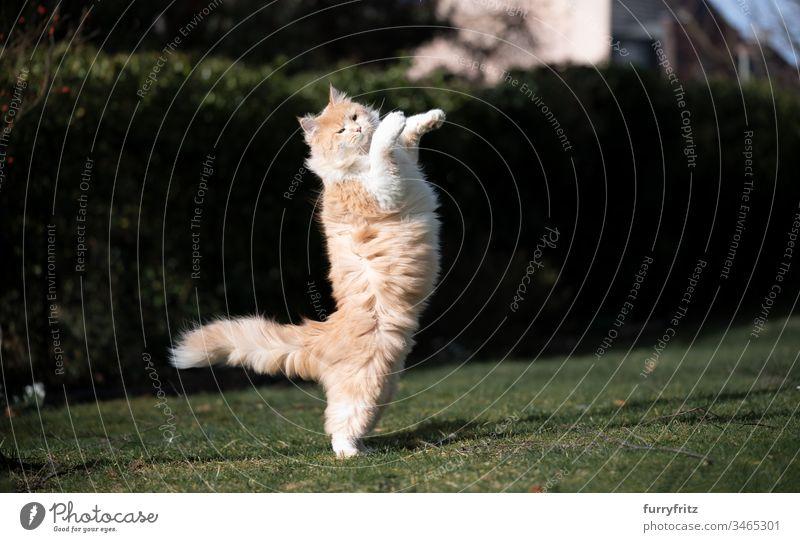 Fluffige Maine Coon Katze spielt im Garten Haustiere katzenhaft Fell fluffig Langhaarige Katze Hirschkalb beige Creme-Tabby Ingwer-Katze weiß Ein Tier im Freien