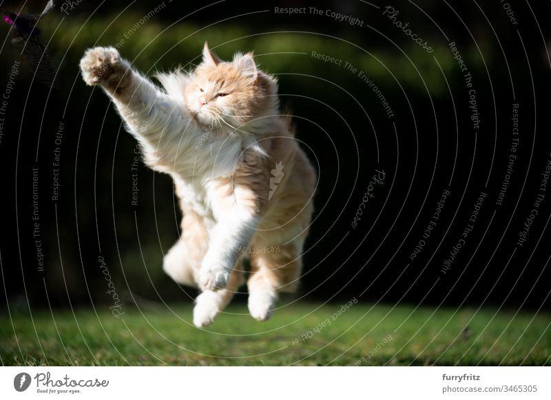 Verspielte Maine Coon Katze springt und spielt im Garten Haustiere katzenhaft Fell fluffig Langhaarige Katze Hirschkalb beige Creme-Tabby Ingwer-Katze weiß