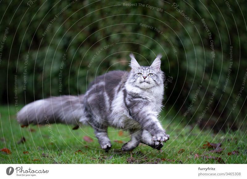Verspielte silver tabby Maine Coon Katze läuft über die Wiese im Freien Vorder- oder Hinterhof Garten Natur Rasen Gras Ein Tier Rassekatze Haustiere katzenhaft