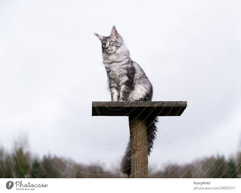 silver tabby Maine coon Katze sitzt auf oberster Plattform eines Kratzbaums im Garten im Freien Vorder- oder Hinterhof Natur Ein Tier Rassekatze Haustiere