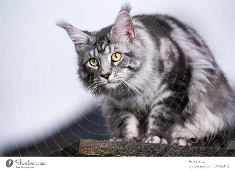 silver tabby Maine Coon Katze sitzt auf Holz Plattform und beobachtet den Garten im Freien Vorder- oder Hinterhof Ein Tier Rassekatze Haustiere katzenhaft Fell