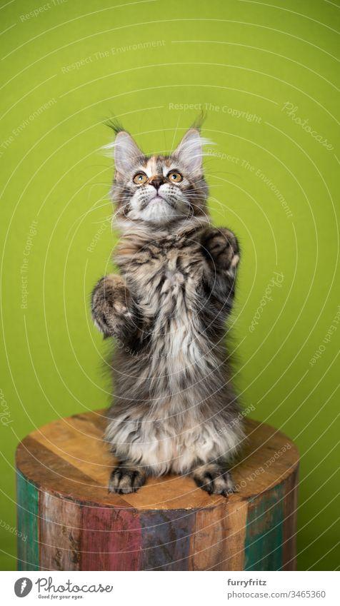 Maine Coon Katze macht Männchen und sieht nach oben vor grünem Hintergrund Haustiere Rassekatze Langhaarige Katze fluffig Fell katzenhaft im Innenbereich