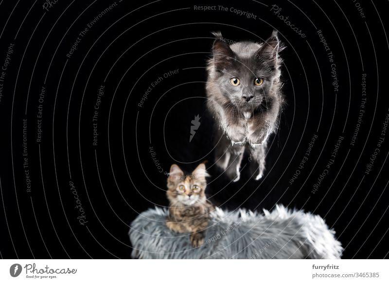 Springende Maine Coon Katze Bewegung Haustiere Rassekatze Langhaarige Katze Katzenbaby fluffig katzenhaft Fell Kätzchen niedlich bezaubernd schön Energie