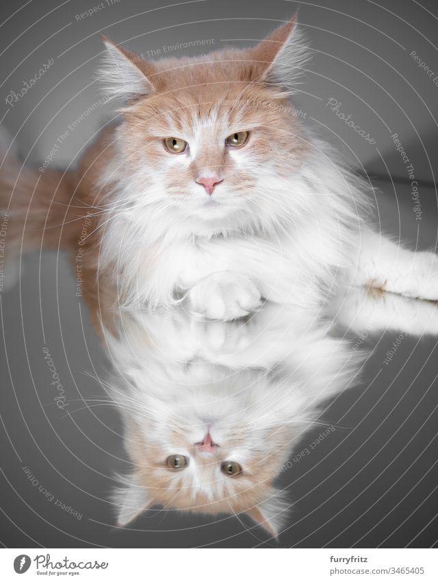 Maine Coon Katze liegt auf einem Spiegel Rassekatze Haustiere weiß Langhaarige Katze Ein Tier Studioaufnahme Reflexion & Spiegelung Creme-Tabby Hirschkalb beige