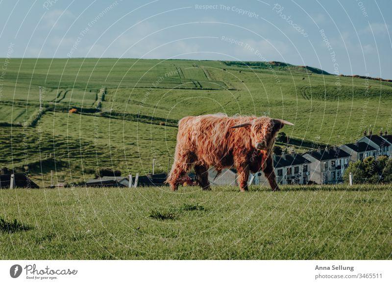 Hochlandrind auf einer Wiese außerhalb der Stadt Frühling Rind Schottland Schottisches Hochlandrind rot orange Tier zuchttier Kuh Außenaufnahme Nutztier 1