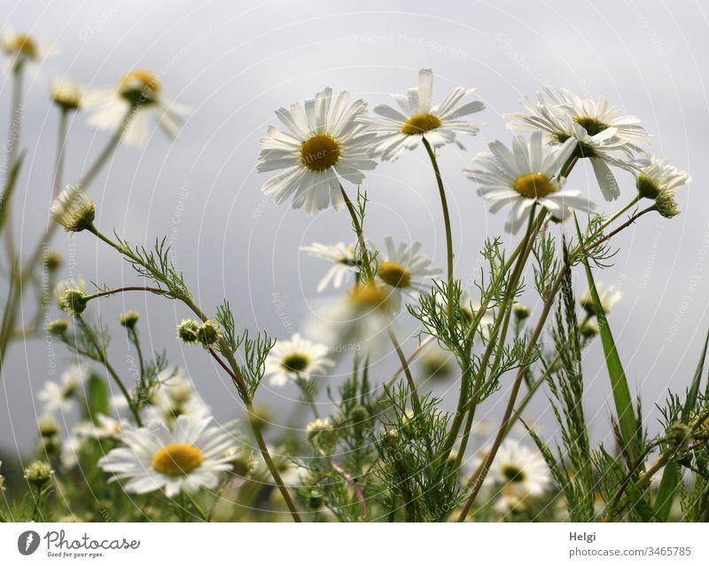 blühende Kamillenpflanzen auf einem Feld vor grauem Himmel Kamillenblüten Blume Blüte Pflanze Natur Landschaft Sommer Tag Außenaufnahme Schwache Tiefenschärfe