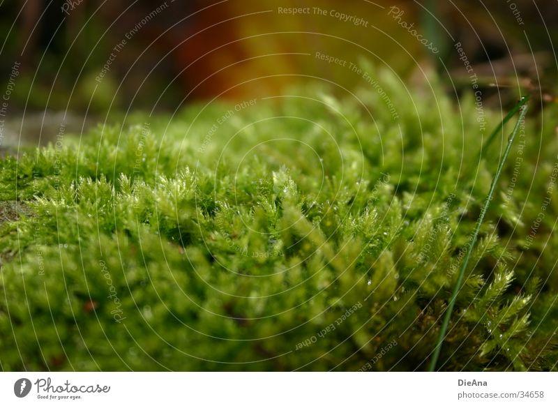 Grünes Gewächs Natur grün Pflanze Blatt Herbst nass weich saftig Laubmoos