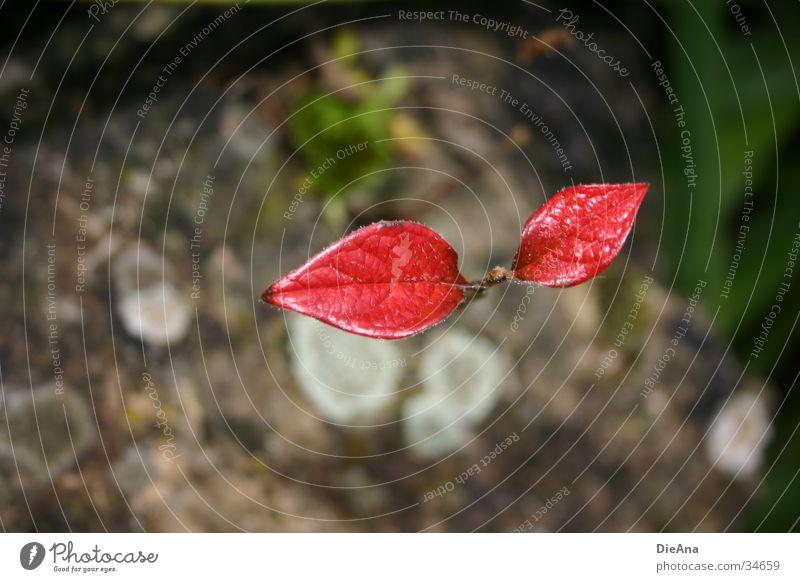 Eigenwillig Natur Pflanze rot Blatt Einsamkeit Herbst grau Stein fallen Wunsch stark November Überleben binden Kämpfer