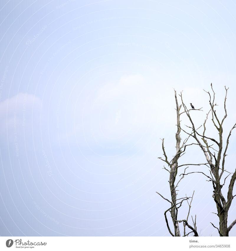 Außendienstler himmel hellblau himmelblau sommer wolken entdeckung biologie tier natur überraschung ast kahl baum totholz vogel sitzen wachsam beobachten posten
