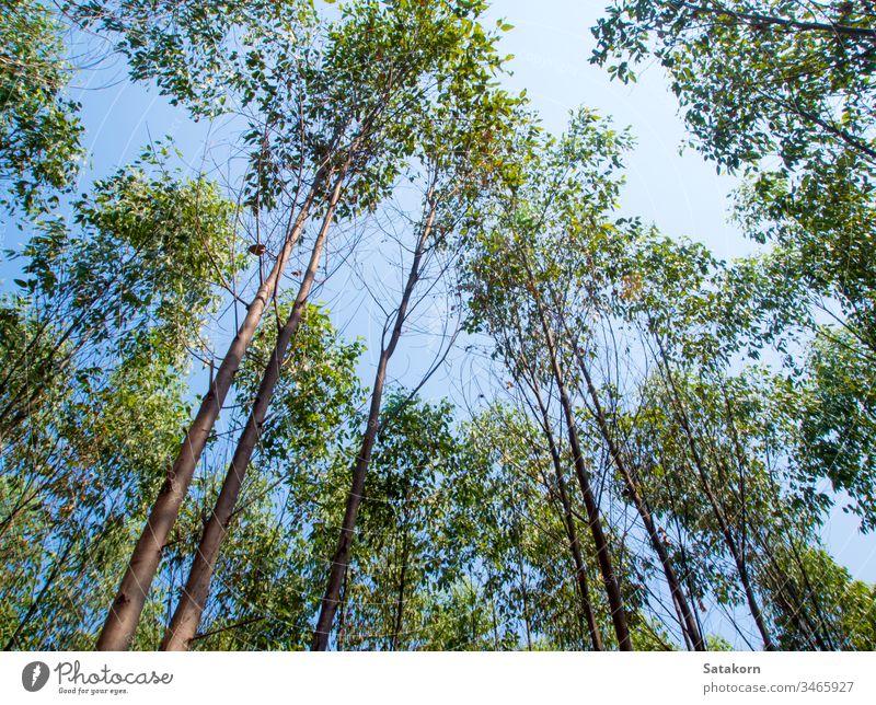 Blick auf die Baumkrone der Eukalyptusbäume auf dem Ackerland Himmel Holz Natur Ackerbau Hintergrund Blatt industriell Niederlassungen Cellulose grün Tapete