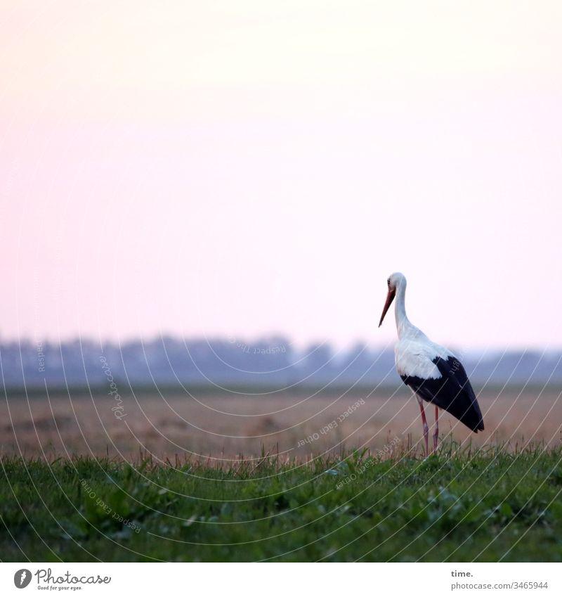 food watch wiese tiere leben himmel schauen beschäftigt storch warten beobachten fokussieren geduld horizont abend abendstimmung abendbrot appetit vogel stehen
