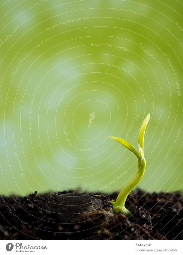 Knospenblätter von jungen Pflanzen, die im Wald säen Keimling wachsend Boden frisch grün Natur Licht Tropfen Tau Wasser Hintergrund Baum Blatt klein neu