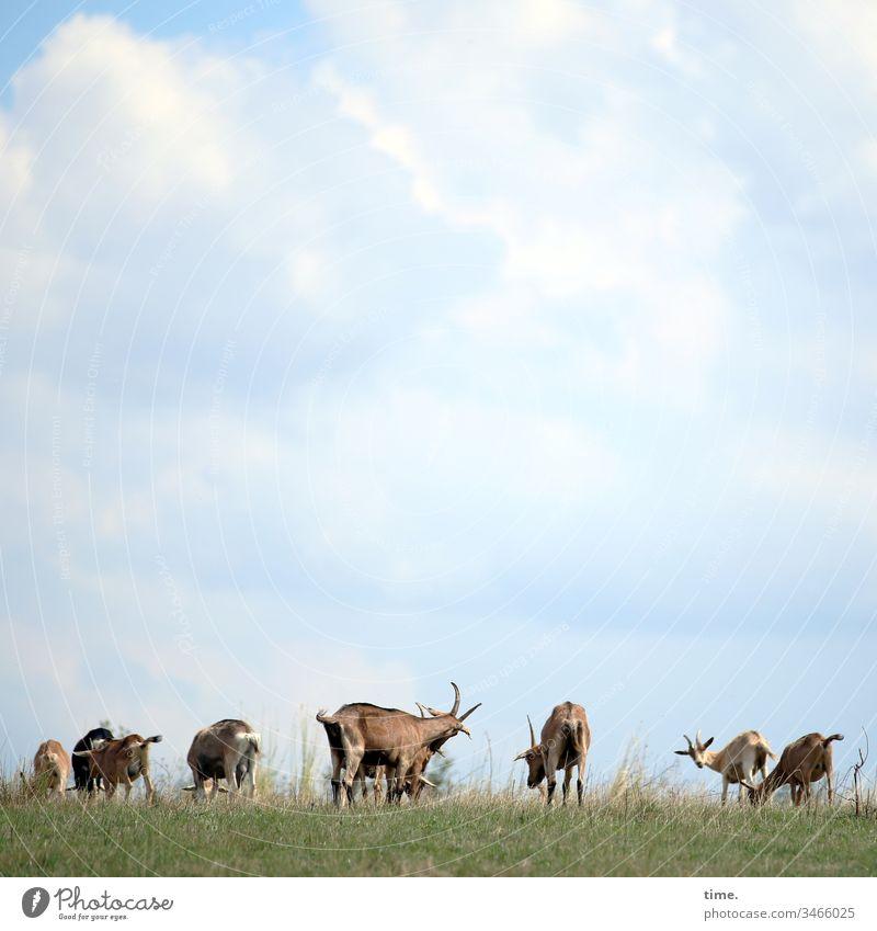 brothas & sistas wiese ziegen tiere nutztiere tiergruppe gemeinschaft leben grasen fressen himmel wolken schauen beschäftigt langeweile bock gesellschaft