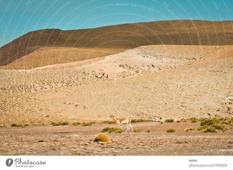 Die Wüste lebt ... Umwelt Natur Landschaft Tier Urelemente Sand Himmel Wolkenloser Himmel Horizont Klima Schönes Wetter Wildtier 1 trist trocken wild blau