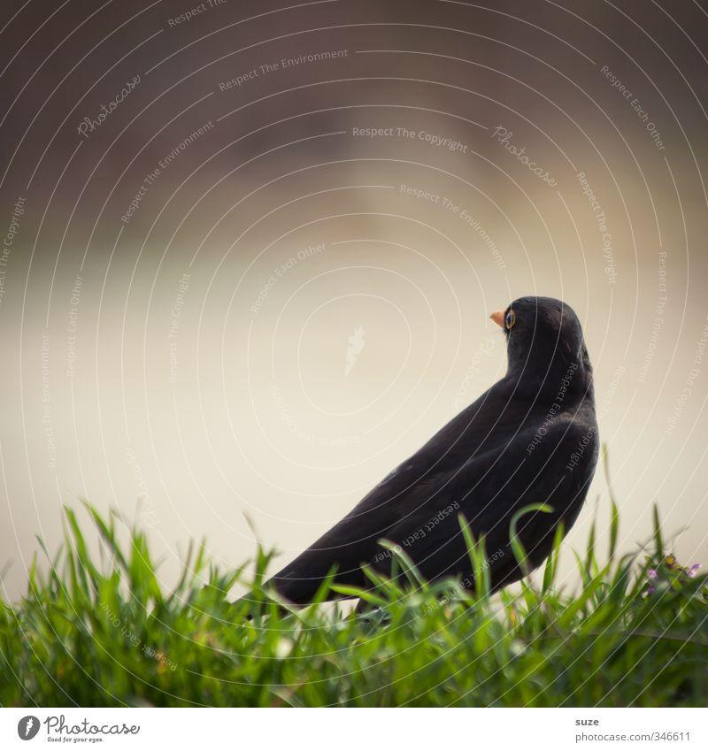 Amselblick Natur Tier schwarz Umwelt Wiese Gras lustig klein natürlich Vogel wild sitzen Wildtier authentisch Schönes Wetter Feder