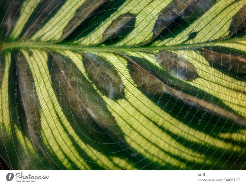 Nahaufnahme eines Calathea makoyana-Blattes calathea makoyana korbmarante maranta marantaceae pflanze tropisch immergrün ausschnitt laub pfeilwurz Fotosynthese