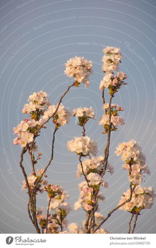 Rosa Blüten der Zierkirsche/Prunus serrulata vor blauem Himmel Frühling rosa Kirschblüten Baum Natur Blühend Außenaufnahme Farbfoto Frühlingsgefühle Kirschbaum