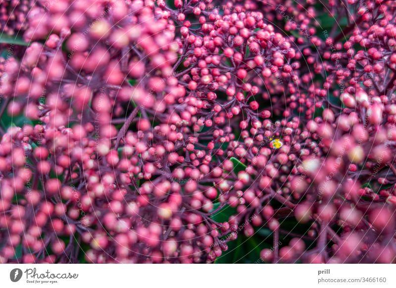 rosa Blütenknospen Nahaufnahme Knospe Fahne blühen Blütenblatt Hölle frühlingszeit hintergrund ausschnitt formatfüllend Natur natürlich pflanze gedeihend