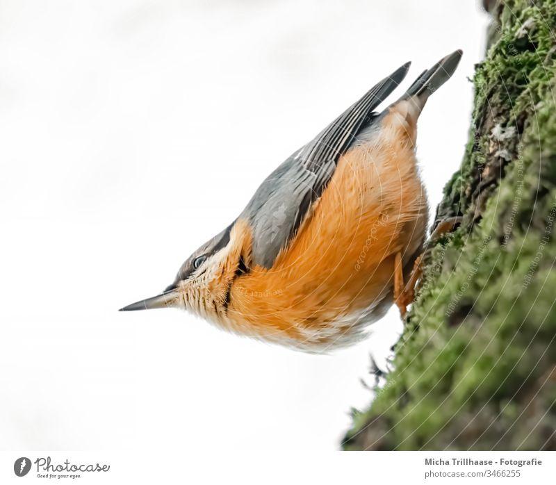 Kleiber kopfüber am Baumstamm Sitta europaea Vogel Tier Wildtier Kopf Tiergesicht Flügel Schnabel Auge Krallen Feder gefiedert hängen Blick beobachten nah
