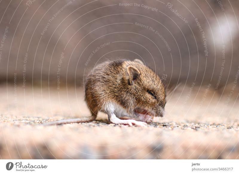 kleine maus Maus Feldmaus niedlich Baby Nagetiere Tier Säugetier Schwanz Fell braun Angst süß winzig essen Ekel