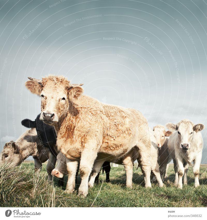 Kuschel-Kuh Bioprodukte Natur Tier Himmel Wolkenloser Himmel Wiese Nutztier Tiergruppe Herde natürlich niedlich schön Tierliebe Landleben