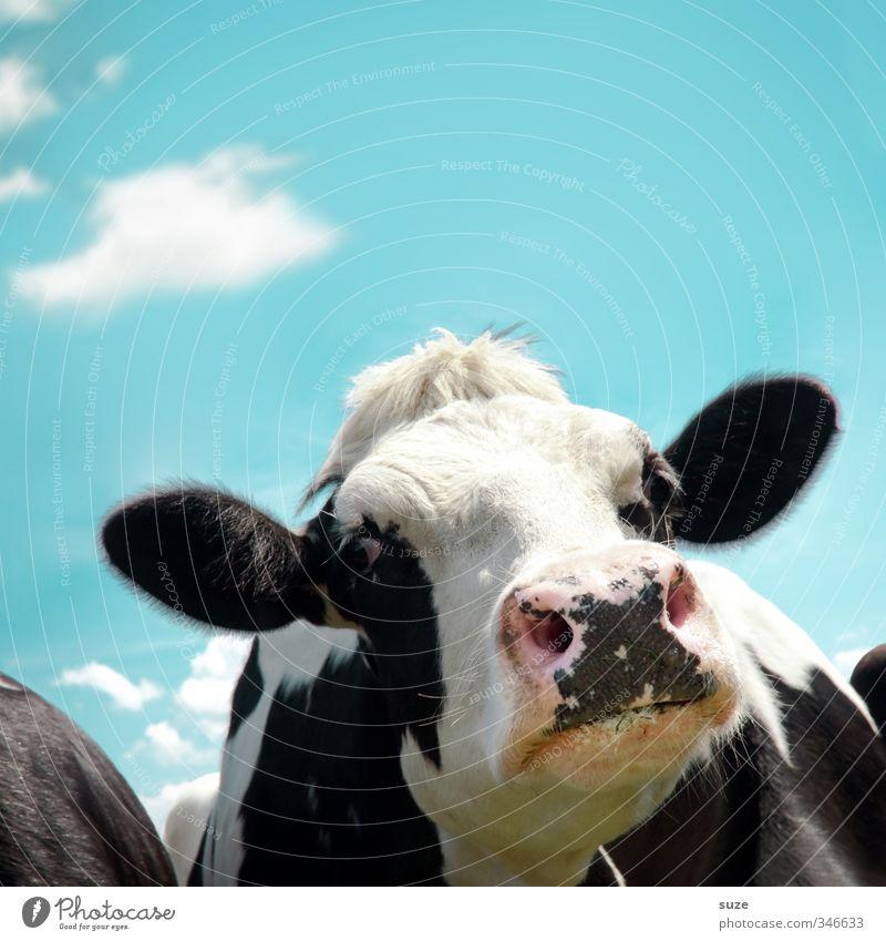 Luise im Schnupperkurs Bioprodukte Umwelt Natur Himmel Wolken Tier Nutztier Kuh Tiergesicht lustig natürlich Neugier niedlich blau schwarz weiß Tierliebe