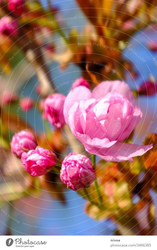 Blüten am Baum rosa Blume Natur Pflanze Außenaufnahme Nahaufnahme Farbfoto Makroaufnahme Menschenleer Blühend Frühling Sommer Blatt Blütenblatt Garten Duft Tag
